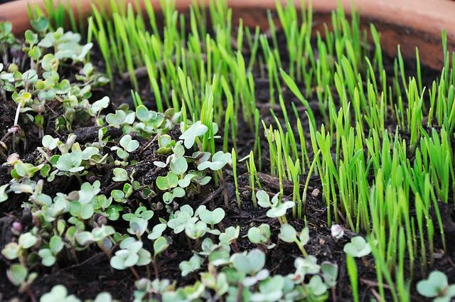Mladé rastlinky rastú v hline.jpg